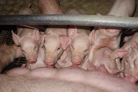 授乳中の子豚